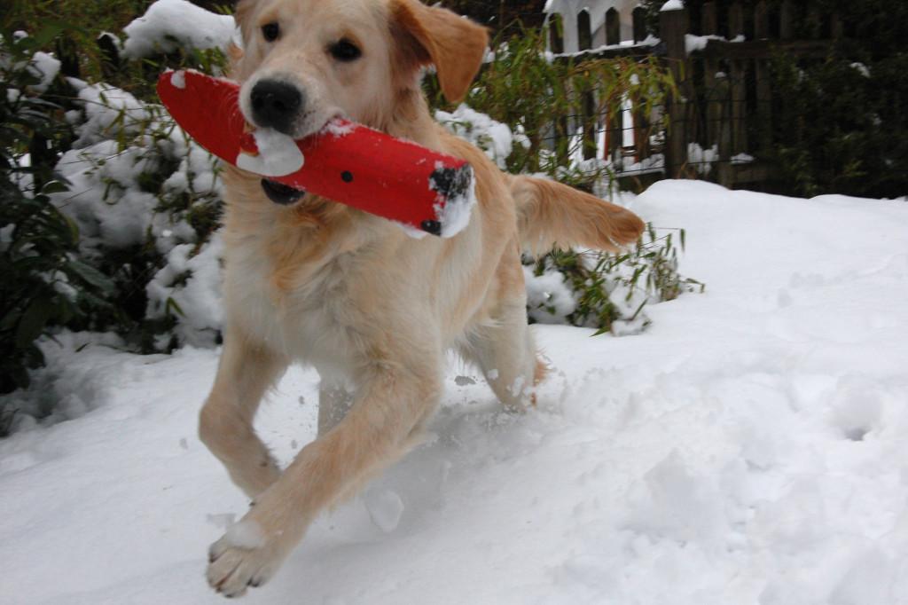Das höchste Retriever-Glück: Apportieren im Schnee!